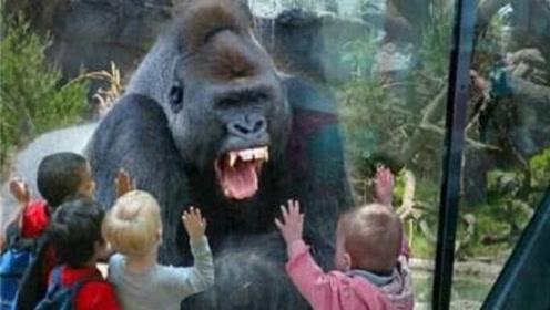 小孩捶胸口激怒猩猩,不料猩猩一拳捶破玻璃,镜头拍下可怕画面