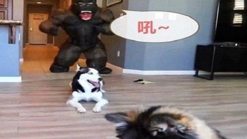 """二哈刚要拆家,突然家里冒出一头""""大猩猩"""",二哈:大哥别杀我!"""