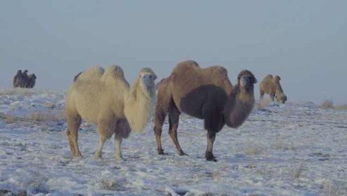 优雅!新疆数百峰骆驼雪地漫步,深情凝视游客