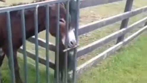 聪明的驴,居然能够自己开门,镜头记录全过程
