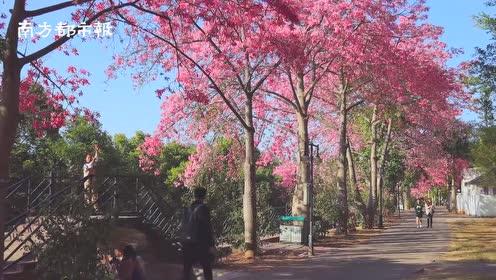 打卡广州丝木棉花海:粉红花朵绽放的动漫世界,美到想恋爱!