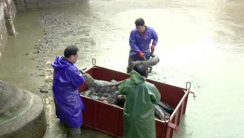贴心!16000余条扬子鳄搬家越冬,吊车上阵工人徒手抱