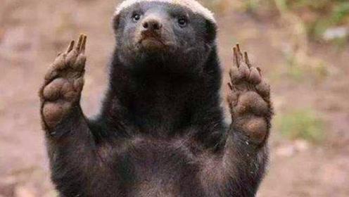 """当""""平头哥""""蜜獾遇见鬣狗,平头哥能胜利吗?"""