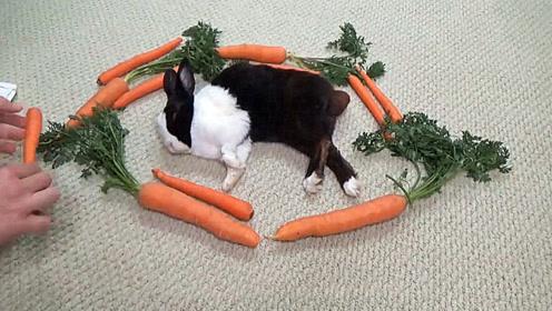 小兔子在睡觉,主人在周围放了一圈胡萝卜,小兔子醒来后懵圈了!