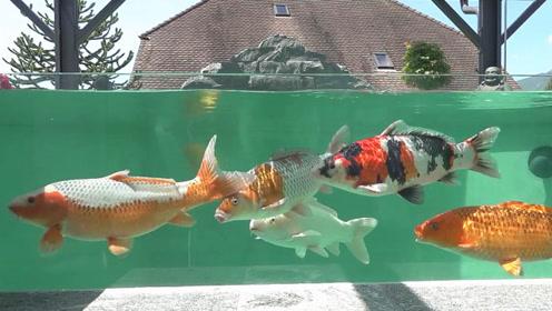 鱼友新买一批极品锦鲤,将它们养在水池中,这场面太让人着迷了