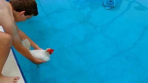 公鸡到底会不会游泳?作死老外把鸡放进游泳池,结果出乎意料