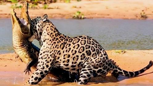 豹子发现河里有只死羚羊,正要叼起来美餐一顿,意外瞬间发生了!