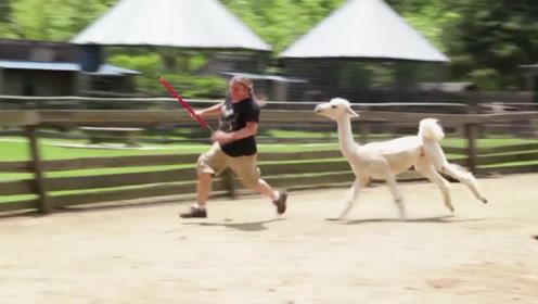 羊驼剪毛后疯狂报复主人,请大家憋住不要笑,镜头拍下全过程!
