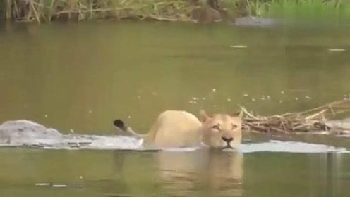 幼崽被鳄鱼吃了,母狮绝望的不停在河里寻找,毫无收获