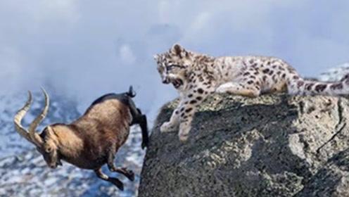 雪豹追逐岩羊,岩羊宁愿跳下悬崖也不想被捉,镜头拍下全过程!