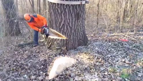 原来国外也种杨树,不过砍伐方法很奇特,值得学习