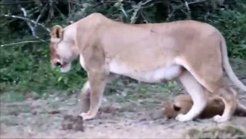 雄狮彻夜未归,母狮看见它回来之后瞬间崩溃,一脸委屈的大声怒吼