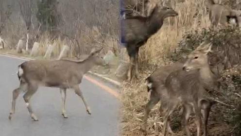 野生鹿群过马路超淡定!市民直呼幸运