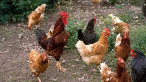 不管养什么鸡,鸡饲料里加点小东西,长的又肥又壮产蛋多,快试试