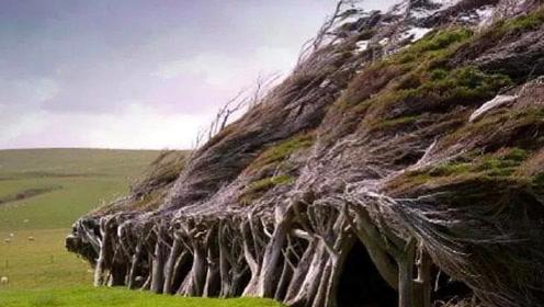 神秘又奇幻的斜树林,树干树枝集体弯向一侧,究竟是何神秘力量?