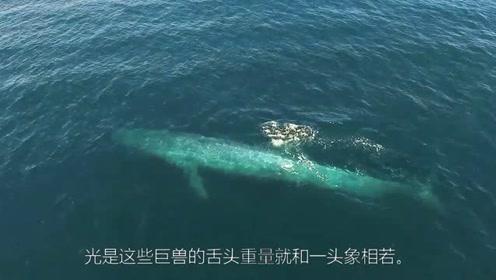 蓝鲸是世界最大的动物,蓝鲸的舌头居然后有一头象重?