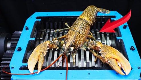 价值8000块的深海龙虾丢进粉碎机,本以为轻松碾压,这钱真没白花