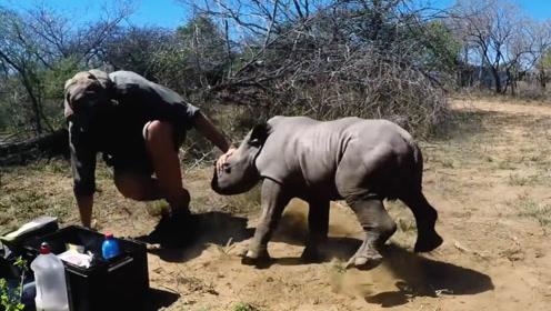 犀牛妈妈被割角,宝宝用自己弱小的身躯顶撞人类,令人感动