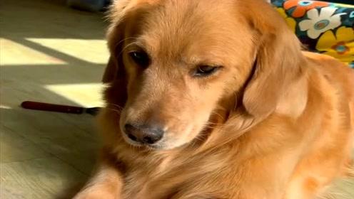 主人给狗狗梳毛发它不高兴,看主人怎么数落它的,表情亮了!