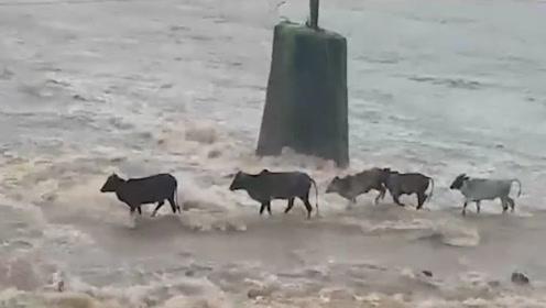 几头牛过涨洪水的桥,走一半只剩下一只,镜头拍下惊险全过程!