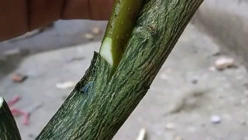 师傅的这嫁接技术一棵树能接多少个品种,这果树嫁接技术也没谁了!