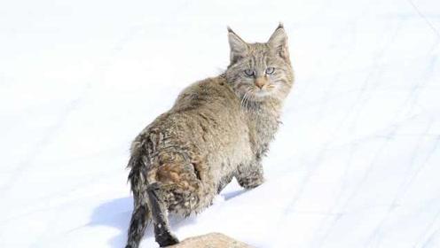 青海发现神秘猫科动物:系濒危荒漠猫,拍到珍贵正面影像