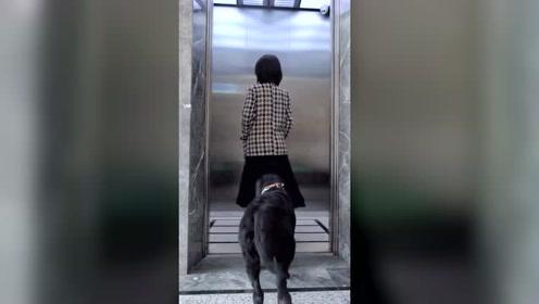 女孩不让狗狗坐电梯,有危险却让狗狗来搭救,拉布拉多真暖心