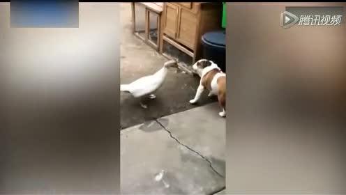 """狗狗和鸭子""""打情骂俏"""" 啃脖儿、地咚好羞人"""