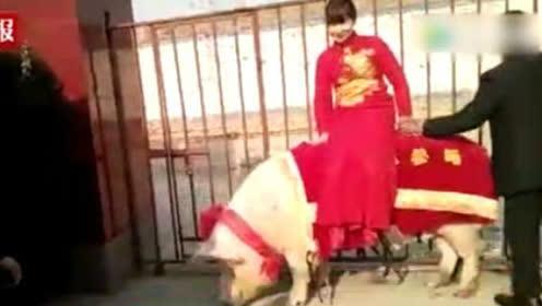 """""""猪倌""""结婚娶媳妇 用1260斤猪王接新娘"""