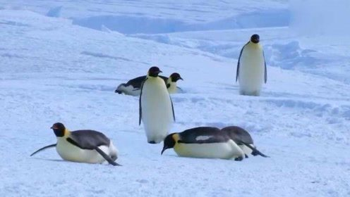 企鹅摔跤的样子也太可爱了吧!可以说是很魔性了