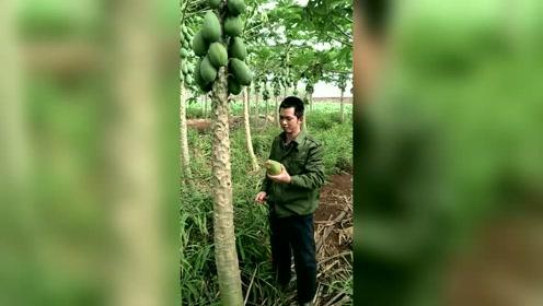 农村小伙,为了木瓜丰胸也是拼了,直接从树上摘下它,上嘴就啃