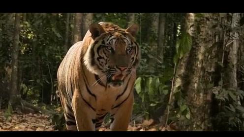 人与老虎的战斗,看着太过瘾