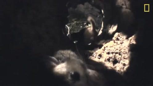 黄鼠狼的战斗了实在太吓人了,估计能与老虎媲美