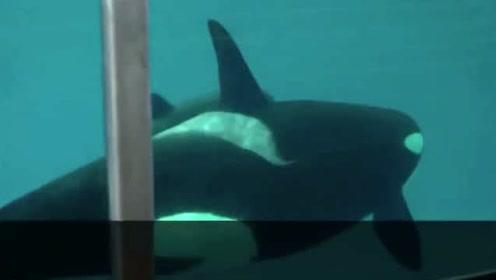 问答:鲸妈一次生几个宝宝?鲸宝是嘴巴先出来还是尾巴先出来?