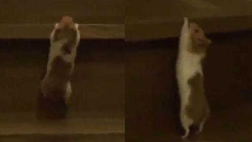 小仓鼠艰难爬楼梯,哈哈哈简直心疼!仓鼠:一天的饭都白吃了!