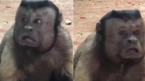 中国猴子因长了张人脸火到了国外 外国网友都乐了