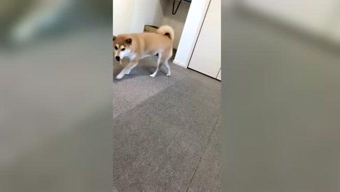 柴犬狗狗没地藏零食,狗狗急的一直转圈