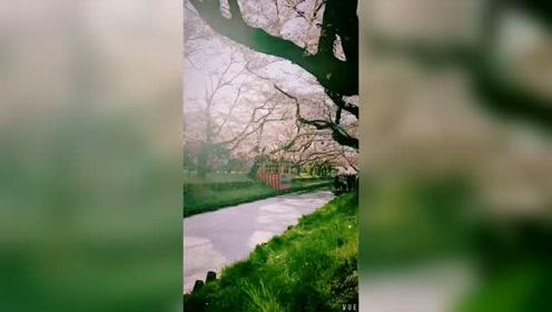 又到了赏樱时节了,你觉得哪里的樱花更好看呢