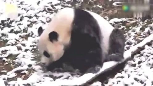 萌到犯规!大熊猫随便打个滚,在美国成了头条!
