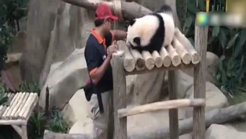 奶爸教熊猫宝宝走路,萌哭游客,可惜马来西亚已经看不到大熊猫了!