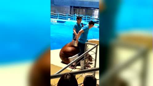 比赛输了居然还耍赖的海狮!