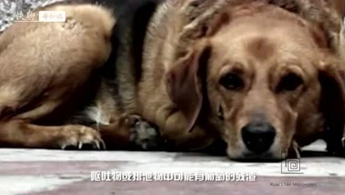 狗狗误食葡萄,可能会引起急性肾衰竭
