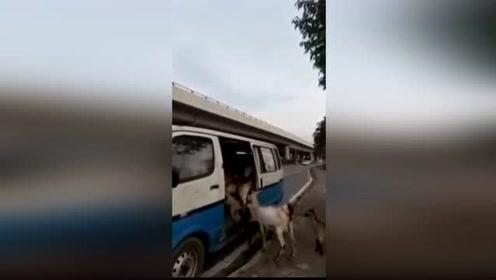 现代放牧人网上爆红 这群喜羊羊每天乘车进城吃草