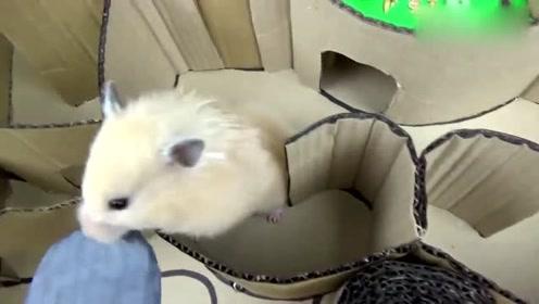 萌宠:手工制作仓鼠迷宫,看小仓鼠来挑战!