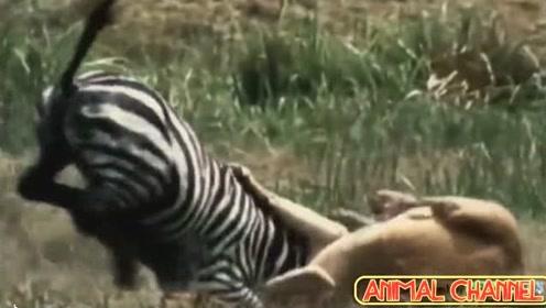 猫科动物猎杀动物合集,十分精彩尤其是最后那个镜头