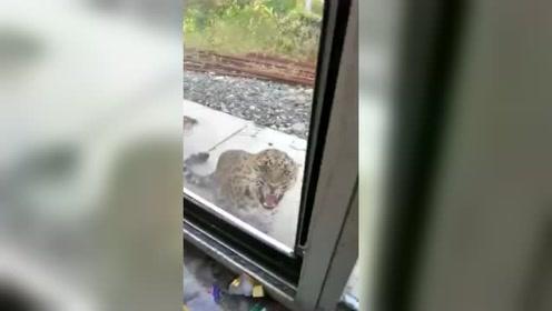 东北豹闯入农家咬伤30只鸡 龇牙扑窗与看门狗撕咬