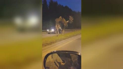 阿拉斯加公路上惊现巨型麋鹿