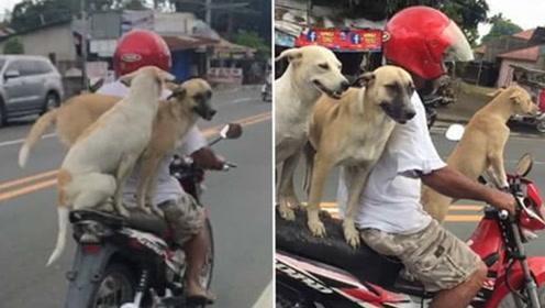 萌翻!三只汪星人坐主人摩托车淡定兜风