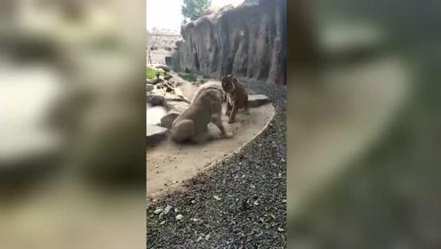 森林里的两个大王,老虎和狮子打起来了?这场面你绝对没有见过!