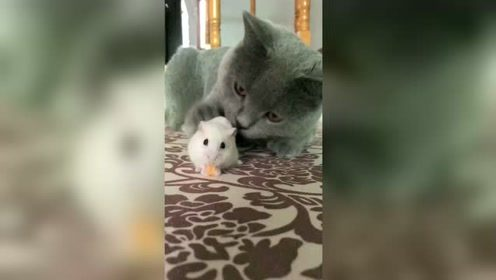 猫和老鼠什么时候成了好朋友,好害怕猫吃了小白鼠